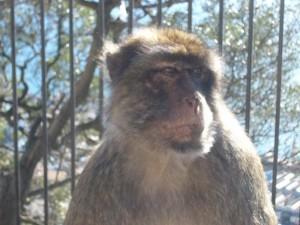 Makake auf Gibraltar