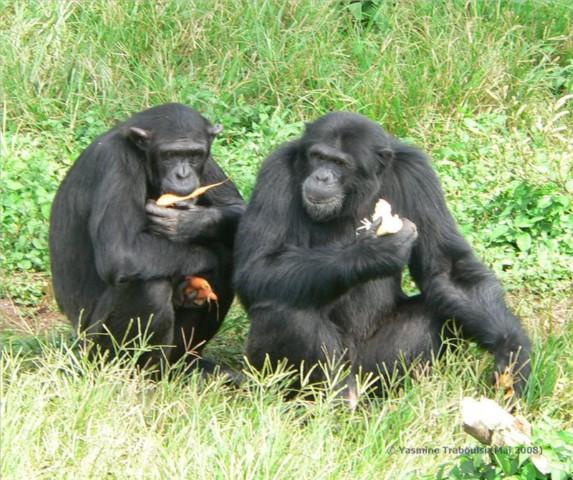 Schimpansen bei der Fütterung