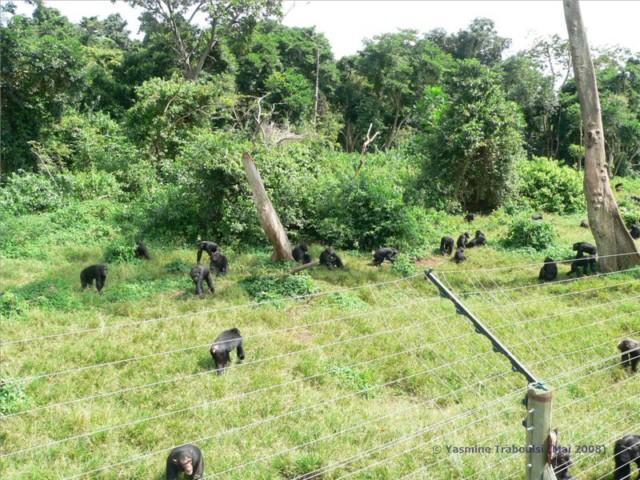 Blitzschnell kommen die Schimpansen aus dem Wald