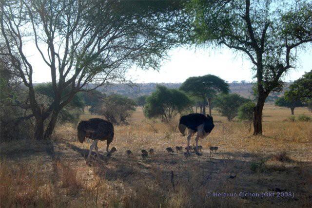Straussenfamilie im Tarangire Nationalpark