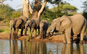 Elefanten auf dem Weg zum Kings Camp