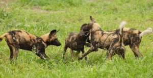 wild dogs Foto Patrick Head Ranger Kings Camp