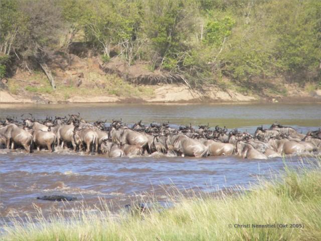 Gnus durchqueren den Mara Fluss