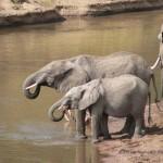 Elefanten kommen zum Trinken