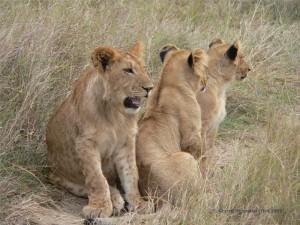 drei junge Löwen