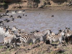Zebras kehren um