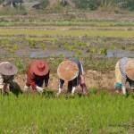 Reispflanzerinnen
