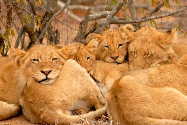 Löwen Foto von Patrick Head Ranger Kings Camp