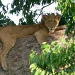 Junger Löwe im Baum