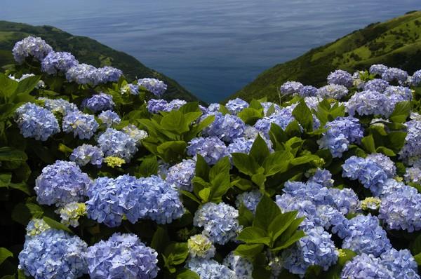 Azoren Blumenmeer