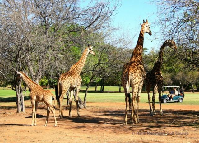Südafrika Reiseangebot: Golfsafari mit dem Luxuszug Rovos Rail