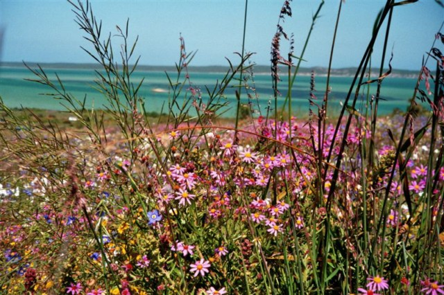 Langebaan Lagune vor Wildblumen