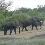 Elefanten im Chobe Nationalpark