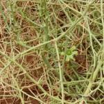 Narapflanze