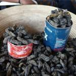 Mopanewürmer