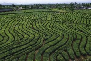 Mauritius - Teeplantagen