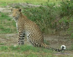 Leopard im Moremi Game Reserve