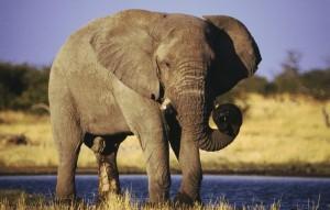 Namibia Etoshapfanne Elefant