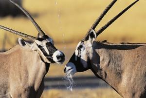 Namibia Oryx Antilope