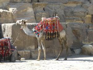 Kamel vor der Cheopspyramide