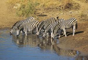 Südafrika Krüger Nationalpark Zebras