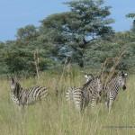 Neugierge Zebras im Mudumu Nationalpark