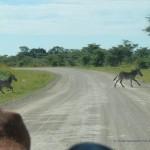 Die Zebras haben Vorfahrt!