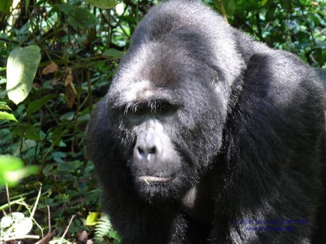 Erfahrungsbericht: Gorilla Trekking in Uganda im Bwindi Impenetrable Forest Nationalpark