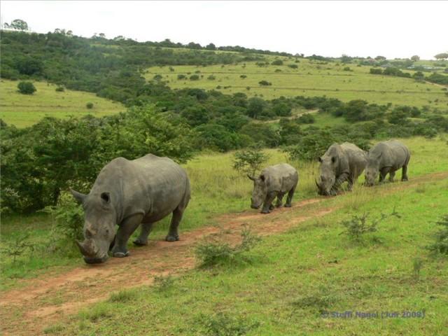 Die Nashörner haben Vorfahrt