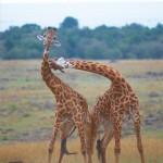 Giraffenkampf oder Spiel?
