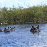 Flusspferde betrachten uns aufmerksam