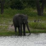 Durstiger Elefant