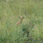 Versteckt im hohen Gras ein Steinböckchen