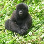 Junger Gorilla in Ruanda