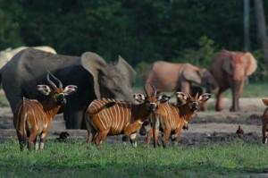 Bongos und Waldelefanten in der Langoue Bai