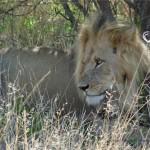 Wir beobachten die Löwen lange