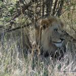 Ein Kalahari Löwe im Gebüsch!