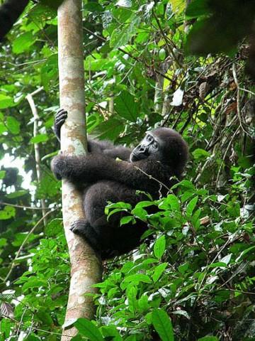 Berggorillas in Uganda: Gorilla Trekking im Bwindi Impenetrable Forest