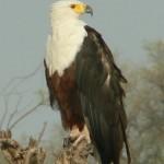Fish Eagle - Schreiseeadler