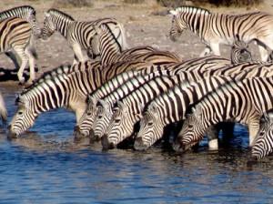 Zebras am Wasserpool