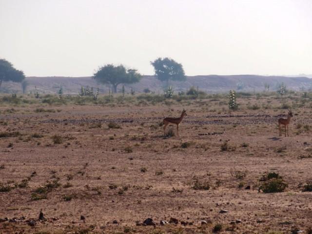 Jaisalmer, die goldenen Stadt am Rande der Thar Wüste und der Tempel Ramedora
