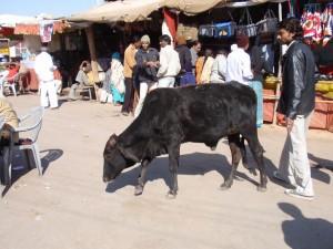 Vortritt für die heilige Kuh