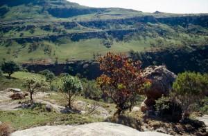 Protea Baum