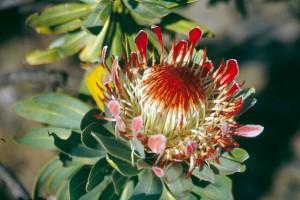 Protea Blüte