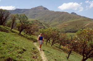 Der Protea-Wald
