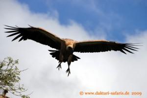 Simbabwe - Hwange Nationalpark - Weissrueckengeier - Buschwanderung