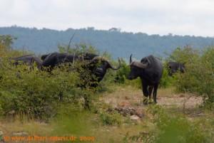 Hwange Nationalpark - Mandavu Dam - Büffel