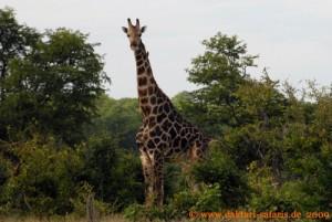 Hwange Nationalpark - Mandavu Dam - Giraffe