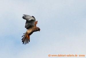 Hwange Nationalpark - Robins Camp -Turmfalke