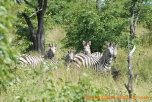 Hwange Nationalpark - Robins Camp - Zebras